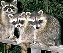 Raccoons in attic, raccoon removal