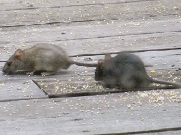 Rat Proofing U0026 Rat Extermination Is Started By Giving A Rat Proofing  Estimate.
