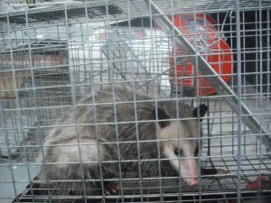 Opossum Removal Houston Dallas